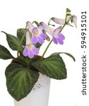 Small photo of Decorative plant Chirita