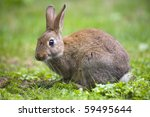 Wild Rabbit In The Meadow