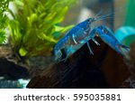 beautiful blue crayfish ... | Shutterstock . vector #595035881