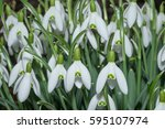 side view of snowdrop blossoms  ... | Shutterstock . vector #595107974