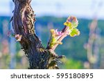 young grape leaves on old vine... | Shutterstock . vector #595180895