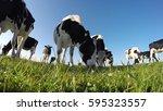 Black And White Holstein Milk...
