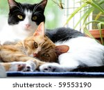 Two Cute Domestic Short Hair...