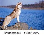 Siberian Husky Red Dog Outdoor...