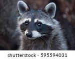 raccoon  procyon lotor   also... | Shutterstock . vector #595594031