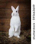 Stock photo funny white fluffy rabbit standing on hind legs indoors 595663649