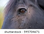 Horse With Lots Of Fly In Face