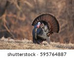 A male wild turkey in full display.