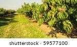 Row Of Fruit Trees.  Ripen...