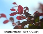 Red Leaves With Backlit From...