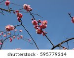 pink flower of plum | Shutterstock . vector #595779314