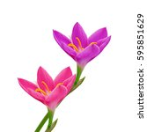 Pink Flowers Isolated On White...
