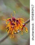 wych hazel 'jelena' or ...   Shutterstock . vector #595890917