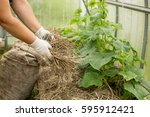 hand hold mulching for cucumbers | Shutterstock . vector #595912421