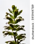 Small photo of backlit acanthus flowers closeup, Acanthus mollis