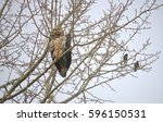 Two Starlings Are Perched With...