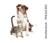 Stock photo attentive domestic cat and border collie dog together over white background looking up 596161301