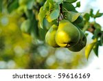 Three Green Pears With Leafs O...