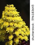Small photo of Large conical vivid yellow flower & leaves of succulent Aeonium arboreum. Yellow flowers in a spiral.