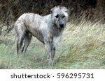 Irish Wolfhound Stands At A...