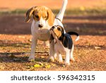 Lovely Beagle Puppy Playing On...