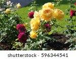 Stock photo bush of red and yellow roses flowers in garden 596344541