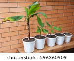 Growing Bananas   How To Grow...