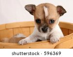 Chihuahua puppy looking out from basket - stock photo