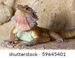 bearded dragon  pogona...   Shutterstock . vector #59645401
