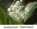 lily of the valley  valley lily ... | Shutterstock . vector #596519465