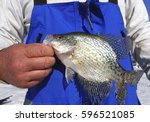 fisherman holding a crappie... | Shutterstock . vector #596521085