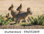patagonian cavi  patagonia  ...   Shutterstock . vector #596552849