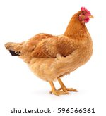brown hen isolated on white ... | Shutterstock . vector #596566361