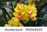 Small photo of Dendrobium sulcatum, ORCHIDACEAEs