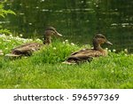 Two Female Mallard Ducks Rest...