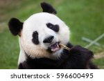 Stock photo giant panda ailuropoda melanoleuca wildlife animal 596600495