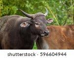 javan banteng  bos javanicus  ... | Shutterstock . vector #596604944
