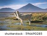 lamas on the colorada lagoon... | Shutterstock . vector #596690285