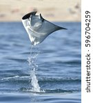 mobula ray jumping out of the... | Shutterstock . vector #596704259