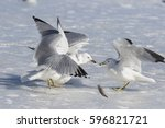 Ring Billed Gulls Fighting