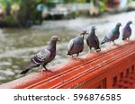 Pigeon Flock Looking At Human...