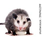 The Virginia Opossum  Didelphi...