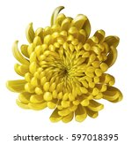 yellow flower chrysanthemum.... | Shutterstock . vector #597018395