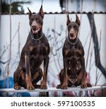 Doberman Pinscher Poses For Th...