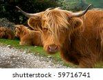 Highland Cattle   A Beautiful...