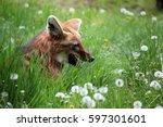 Fox Resting In Meadow