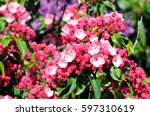 Small photo of pink Kalmia bush flower in blossom.
