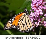 Profile Of A Monarch Butterfly...