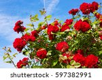 Stock photo red climbing roses 597382991