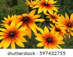 the rudbeckia